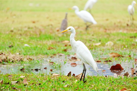 egret: Bird egret Stock Photo