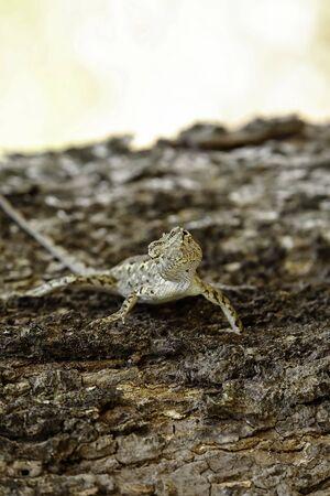 saurian: Brown lizard,beauty colorful background blur