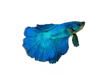 capture the moving moment beautiful of siam blue halfmoon betta fish in thailand on white background.