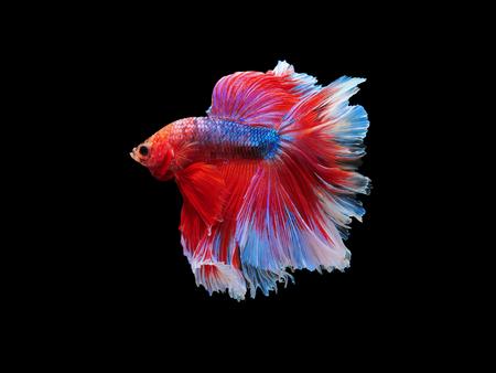 dragon swim: capture the moving moment beautiful of siam blue halfmoon betta fish in thailand on black background Stock Photo