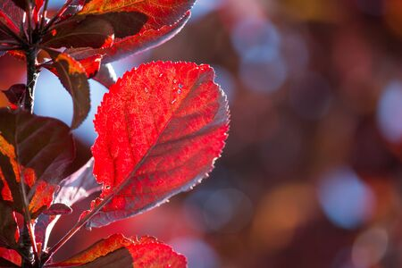 seasonality: Red leaf with sunlight through the holes. Stock Photo