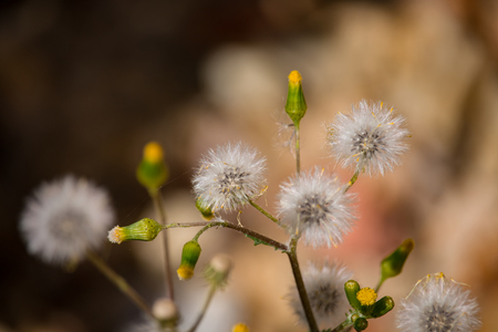 The common groundsel (Senecio vulgaris) seeds and flowers in  springtime outdoors close up.
