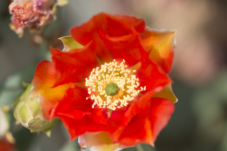Orange  cactus flower Devils Tongue  (or Eastern Prickly Pear, Indian Fig. Its Latin name is Opuntia Humifusa (Syn Opuntia Compressa), native to North America.