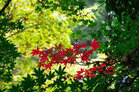 Japanese maple turning red at fall Standard-Bild