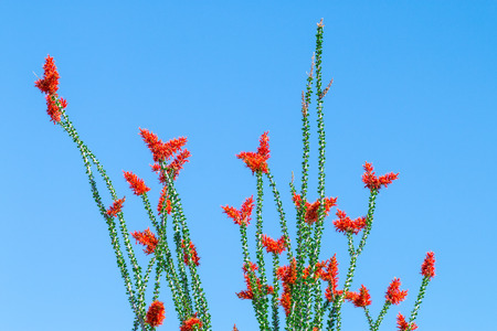 Ocotillo flowers blooming and leaves in blue sky.