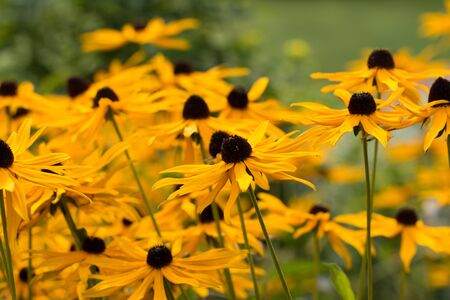 field of Black-eyed Susan flowers with selective focus