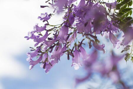 Jacaranda flower in blue sky background.