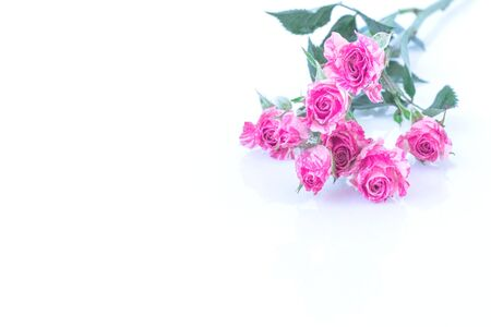 Two-Tone Pink Roses and water drops on white background.