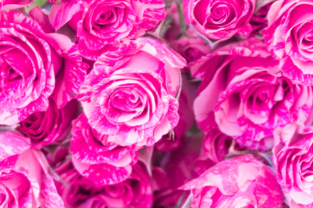 Two-Tone Pink Roses  on white background, closeup.