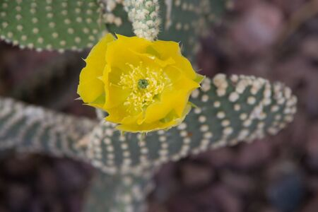 Yellow cactus flower Devils Tongue  (or Eastern Prickly Pear, Indian Fig. Its Latin name is Opuntia Humifusa (Syn Opuntia Compressa), native to North America.