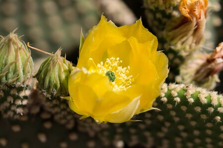 syn: Yellow cactus flower Devils Tongue  (or Eastern Prickly Pear, Indian Fig. Its Latin name is Opuntia Humifusa (Syn Opuntia Compressa), native to North America.