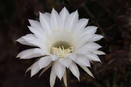Weiße Kaktusblüte Lizenzfreie Fotos, Bilder Und Stock Fotografie ...