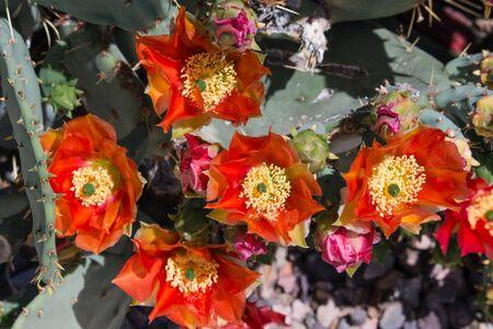 Orange Prickly Pear Cactus Flower