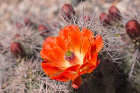 Beautiful blooming wild desert cactus flowers, closeup.
