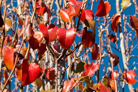 seasonality: Red leaves on branches.