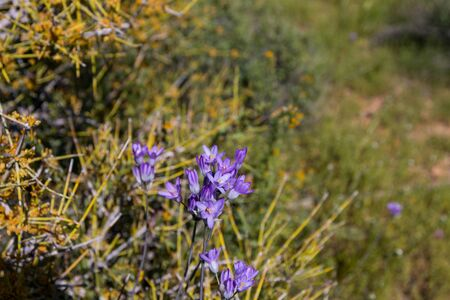 Close up of Blue dicks (Dichelostemma capitatum)  wilflower  in spring time.