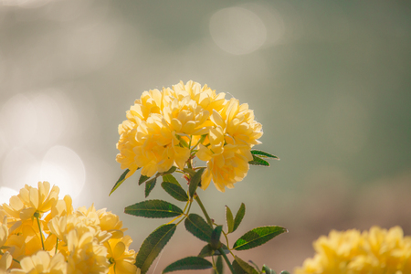 Closeup of Banksia rose (Rosa banksiae).