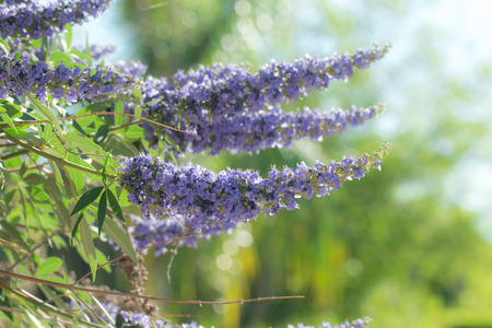 Purple vitex tree close up in garden. Stock Photo