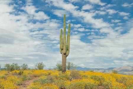 Saguaro Cactus with yellow  wild flowers on the mountain in the Arizona desert, USA.