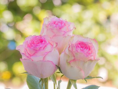 Sluit omhoog van roze rozen en waterdalingen zachte achtergrond.