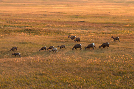 Hard ofBig Horn Sheep are eating grass in the valley plains while sunset time.