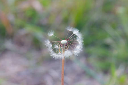 Close up of a dandelion on a green grass background.