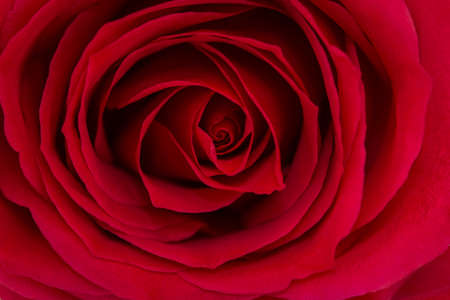 Close up of a beautiful red rose. Stock Photo