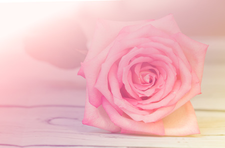 Close up of a beautiful pink rose in soft style for background