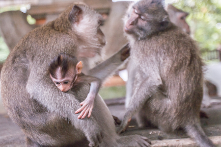 Close up of baby monkey in monkey forest Ubud, Bali, Indonesia.
