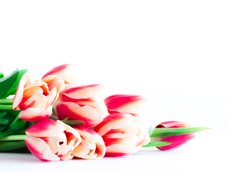 Close up of red tulips on white background. Stock Photo