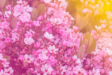 pink flowers blossom in the springtime  and sunlight.