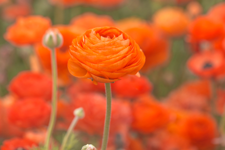 Close up of orange ranunculus flowers in a field, spring time. Stock Photo