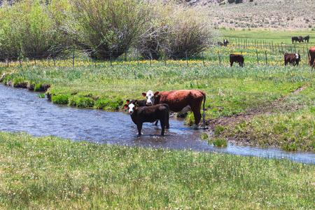 Cattle in the green meadow and a small canal flows pass farm. Stock Photo