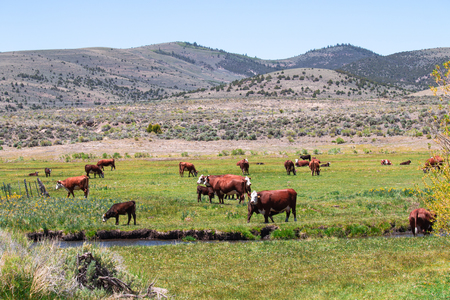 Cattle in the green meadow and a small canal flows pass farm with mountains  background behind the farm.