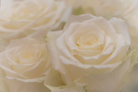 Close up of a beautiful white roses. Stok Fotoğraf - 132110324