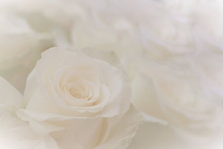 Close up of a beautiful white roses. Stok Fotoğraf - 132110657