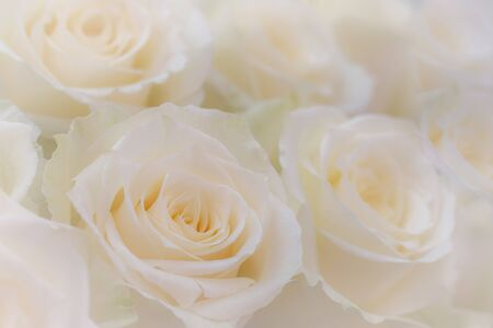 Close up of a beautiful white roses. Stok Fotoğraf - 132110680