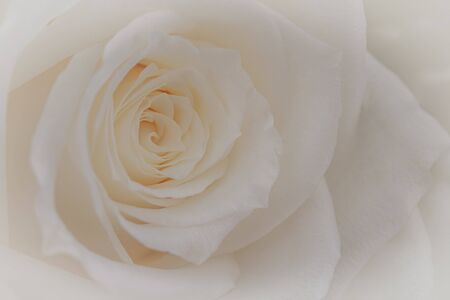 Close up of a beautiful white rose.