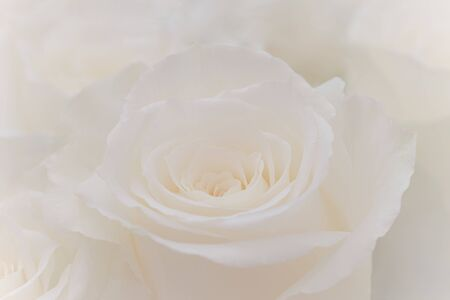 Close up of a beautiful white rose. Stok Fotoğraf - 132109858