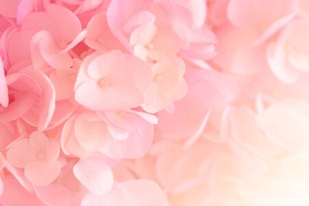Hydrangea with soft pastel color in  blur style for background Stock Photo