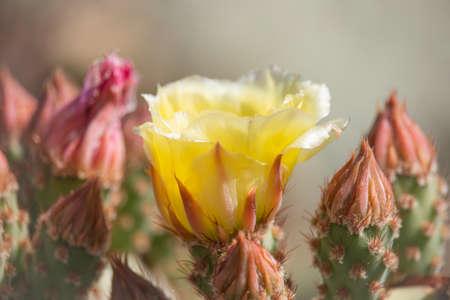 Beautiful cacti flowers blooming in spring time in Arizona desert.