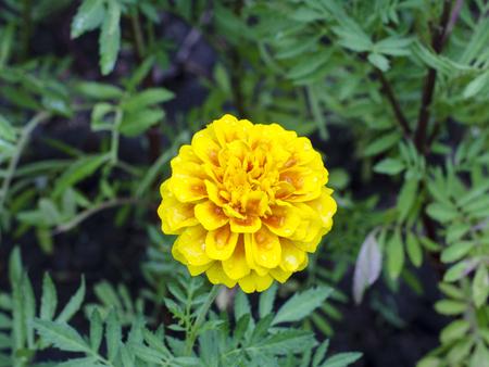 african marigold: Frash Marigolds Tagetes erecta, Mexican marigold, Aztec marigold, African marigold Stock Photo