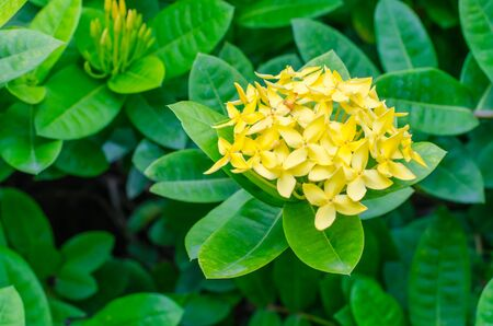 yello: yello Ixora Flower Stock Photo