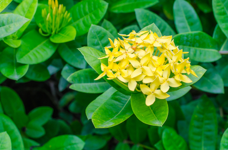ixora: yello Ixora Flower Stock Photo