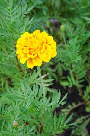 african marigold: Frash Marigolds (Tagetes erecta, Mexican marigold, Aztec marigold, African marigold)