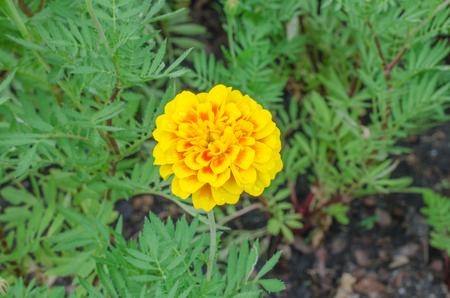 frash: Frash Marigolds (Tagetes erecta, Mexican marigold, Aztec marigold, African marigold)