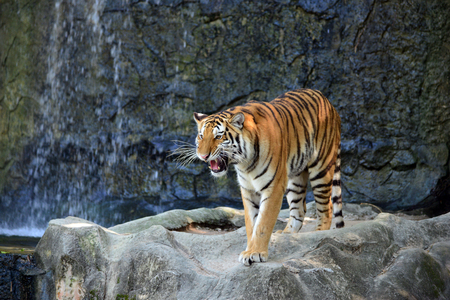 growl: tiger in action of growl Stock Photo