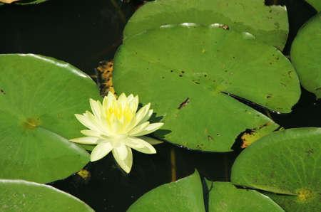 a yellow lotus photo