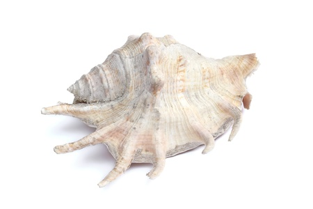 gastropoda: old conch shell