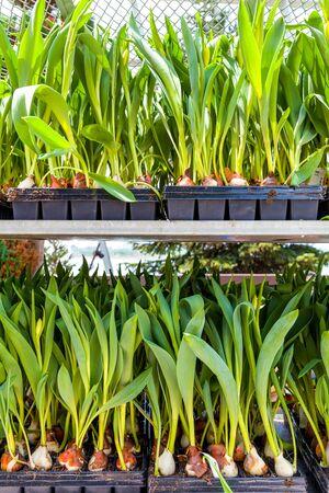 seeding: Tulip Seeding and Bulb